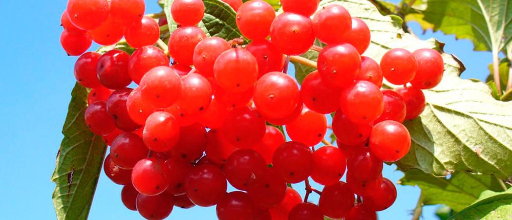 Arándanos rojos para prevenir la cistitis
